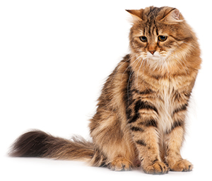 Vilka är symptomen på ledproblem hos katter?