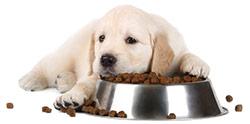 Foderallergi hos hundar