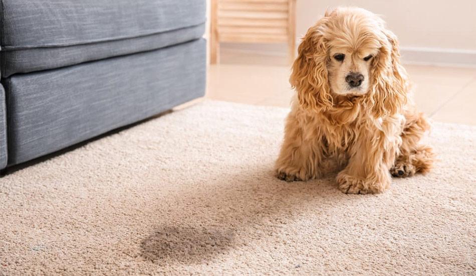 En hund med urinvägsinfektion har en tendens till att kissa oftare än normalt, och kan också råka kissa inomhus.