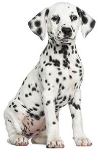 Vad gör hundens bukspottkörtel?