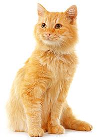 Hur förebygger man sjukdomar i kattens tandkött?