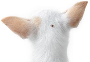 Förebygg fästingbett hos hunden