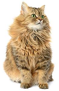 Vad är kattens immunsystem?