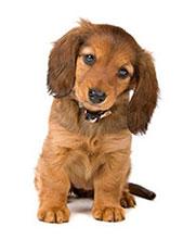 Hur kan jag förbättra min hunds immunsystem?