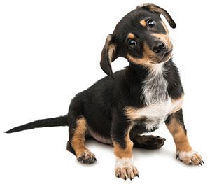 Vad är hundens immunsystem?