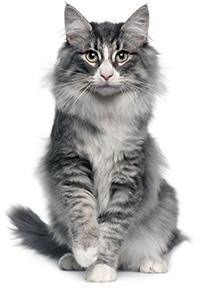 Vad är orsaken till och symptomen på bukspottkörtelinflammation hos katter?