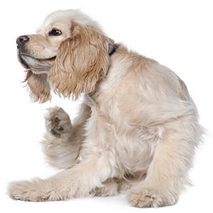 Hur vet jag om min hund har loppor?