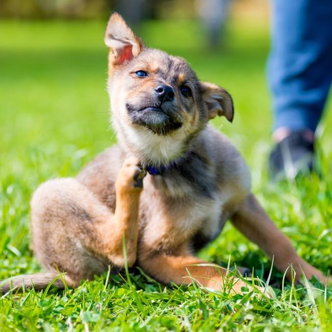 Bli av med fästingar på hunden