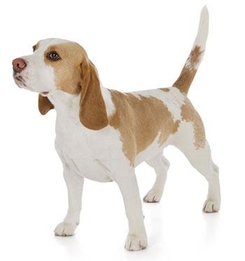 Symtom på matsmältningsproblem hos hundar