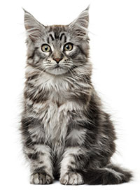 Symptom på artros hos katter