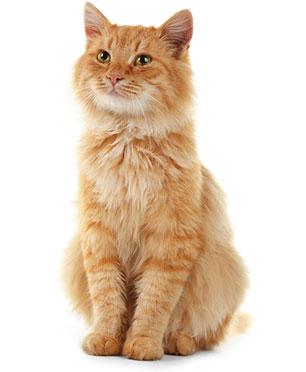 Symtom på matsmältningsproblem hos katter