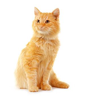 Varför bör man använda rengöringsmedel för kattens öron?