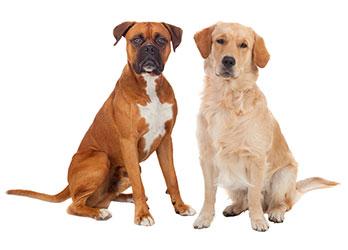 Symptom på diarré hos hundar
