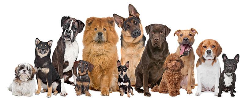 Vilken av dessa lugna hundraser passar mig?